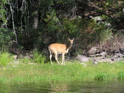 deer near a river